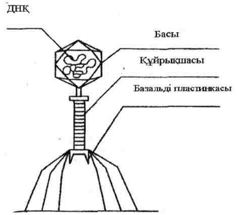 Фагтың құрылысы