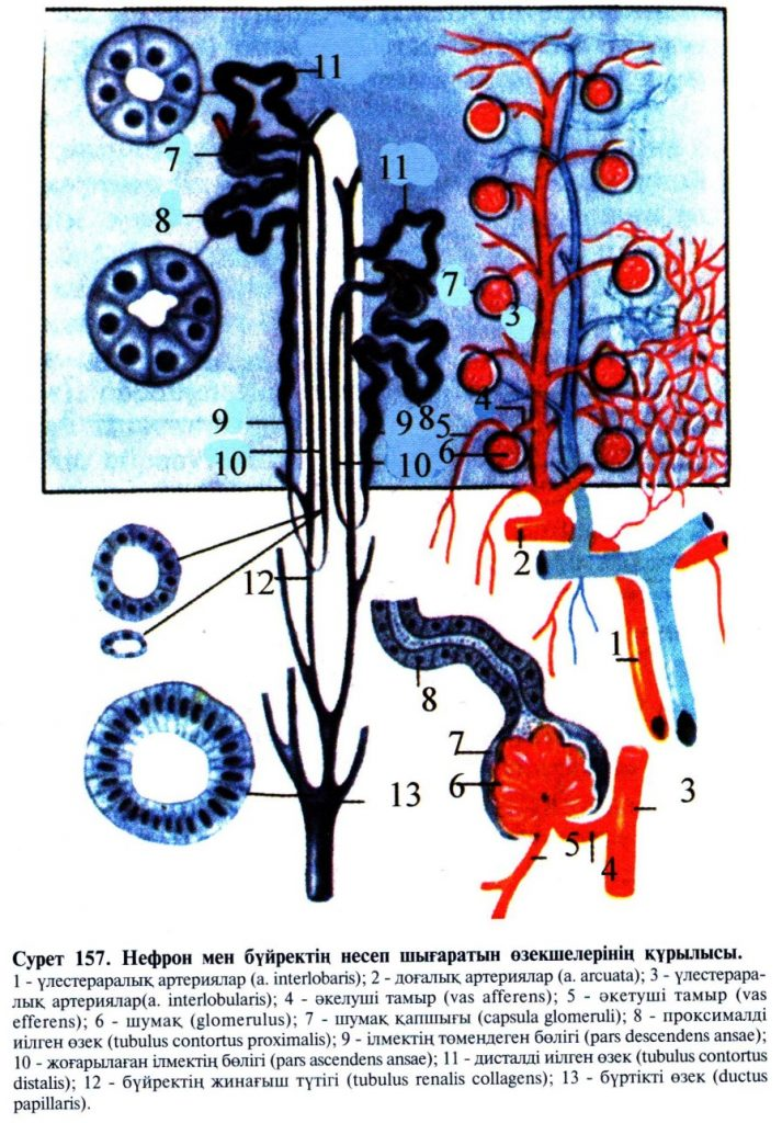 Нефрон мен бүйректің несеп шығаратын өзекшелерінің құрылысы