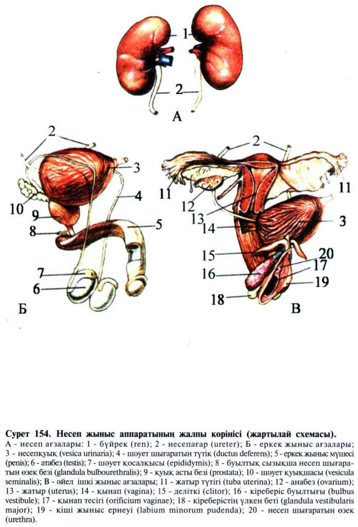Несеп жыныс аппаратының жалпы көрінісі