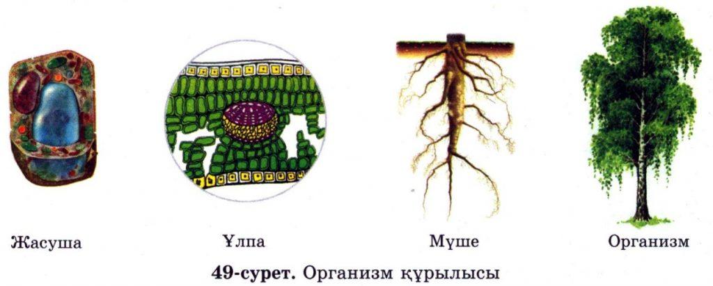 Организм құрылысы