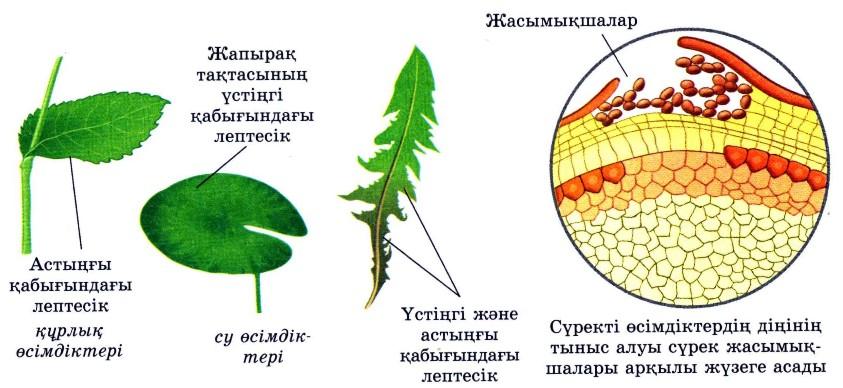 Өсімдіктердің тыныс алуы