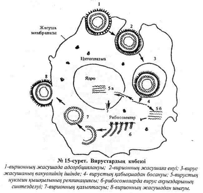 Вирустардың көбеюі