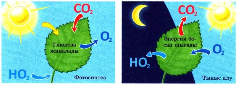 Фотосинтез және тыныс алу процестері